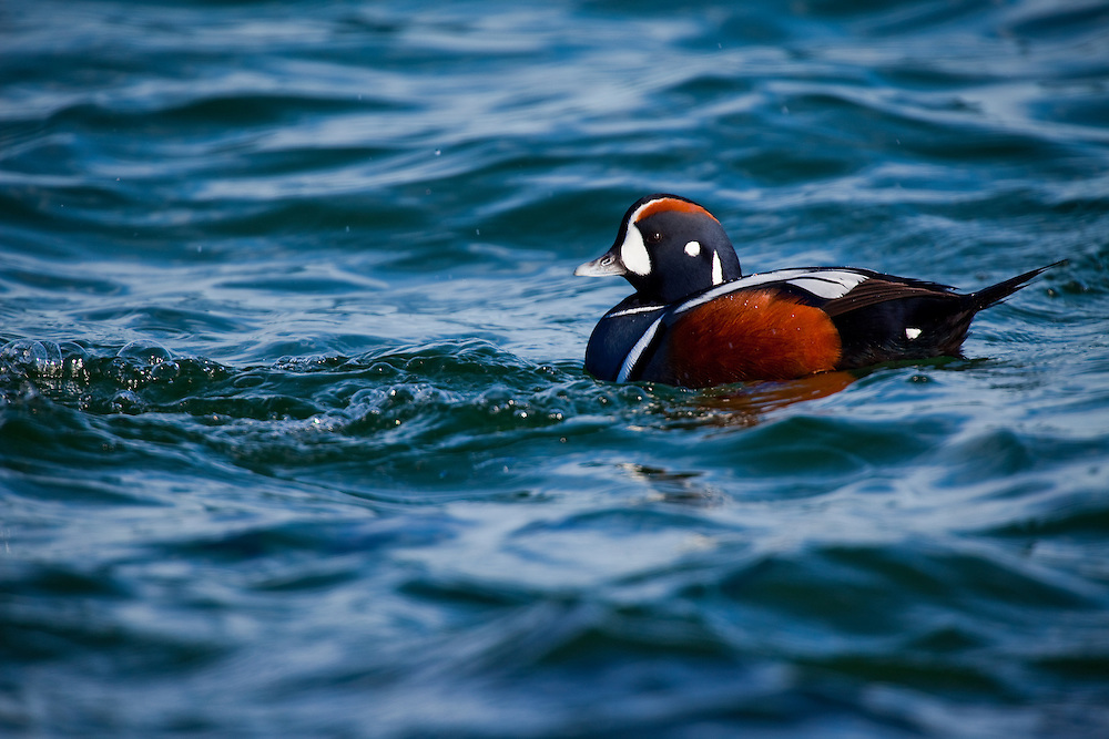 The Harlequin Duck, Histrionicus histrionicus, is a small sea duck. In North America it is also known as Lords and ladies. Other names include painted duck, totem pole duck, rock duck, glacier duck, mountain duck, white-eyed diver, squeaker and blue streak. Adult males are slate blue with chestnut sides and white markings including a white crescent at the base of the bill. Adult females are less colourful, with brownish-grey plumage and a white patch on the head around the eye. Both adults have a white ear patch. Their breeding habitat is cold fast moving streams in north-western and north-eastern North America, Greenland, Iceland and western Russia. The nest is usually located in a well-concealed location on the ground near a stream. They are usually found near pounding surf and white water. They are short distance migrants and most winter near rocky shorelines on the Atlantic and Pacific coasts. They are very rare vagrants to western Europe. These birds feed by swimming under water or diving. They also dabble. They eat molluscs, crustaceans and insects. Harlequins have smooth, densely packed feathers that trap a lot of air within them. This is vital for insulating such small bodies against the chilly waters they ply. It also makes them exceptionally buoyant, making them bounce like corks after dives. The eastern North American population is declining and is considered endangered. Possible causes include loss of habitat due to hydroelectric projects and loss of life due to oil spills near coastal areas. Today, this is the only species of its genus.