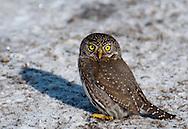 Northern Pygmy Owl (Glaucidium gnoma) on the ground during winter in the Okanogan Highlands, Washington
