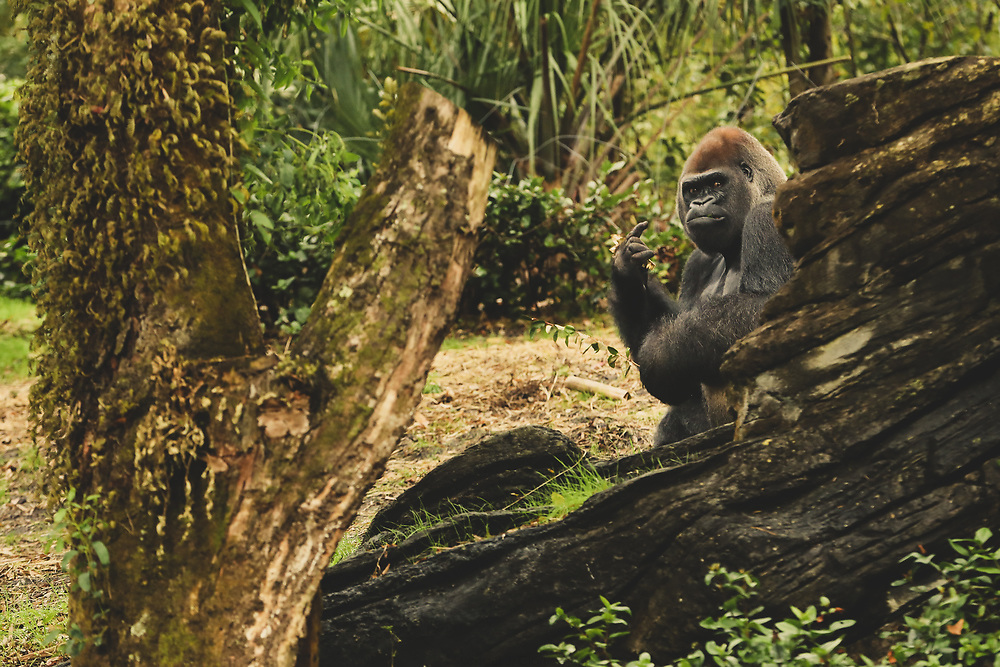 A western lowland gorilla giving a rock and roll gesture with his hands on a warm afternoon in Florida.