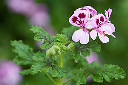 Pelargonium quercifolium - Oak leaved Geranium