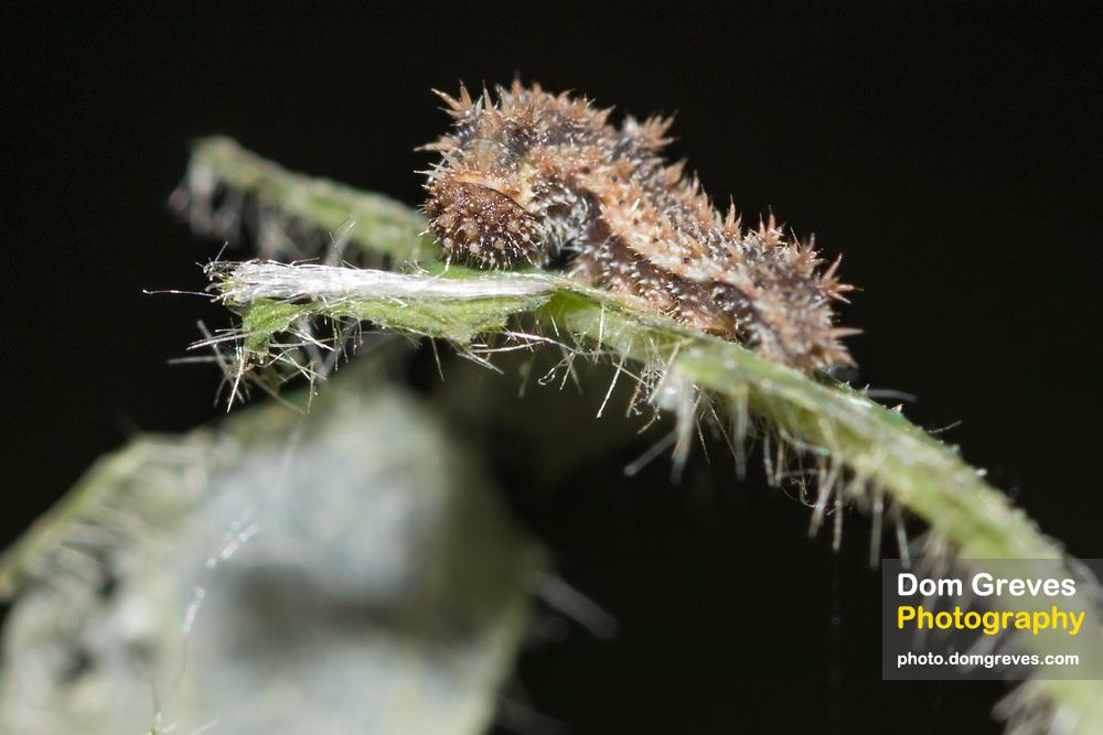 White admiral (Limenitis camilla) 3rd instar larva on honeysuckle (Lonicera periclymenum). Sussex, UK.