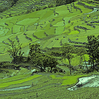 Farmers plow and plant rice in terraced paddies, in upper Marsyandi River Valley, Nepal.