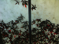 Red fallen sweetgum leaves on overhead glass panes