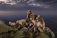 Eine Gruppe von Dschelada-Weibchen (Theropithecus gelada) macht sich auf, um in die sicheren Felsen zu zu klettern wo sie die Nacht verbringen werden, Simien Nationalpark, Debark, Region Amhara, Äthiopien<br /> <br /> A group of Gelada females (Theropithecus gelada) set off to climb the safe rocks where they will spend the night, Simien National Park, Debark, Amhara Region, Ethiopia