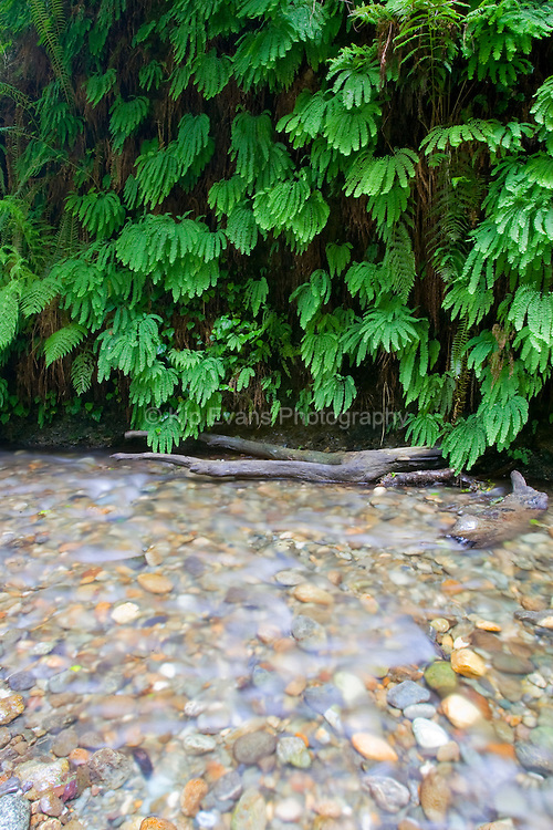 Ferns line the banks of the Big Sur river in California.