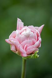 Tulipa 'Dreamer'