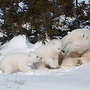 Polar Bear (Ursus maritimus) mother and cubs recently out of the den. Western Hudson Bay population. Manitoba. Canada