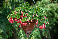 Fuchsia 'Blaze Away' in a hanging basket.