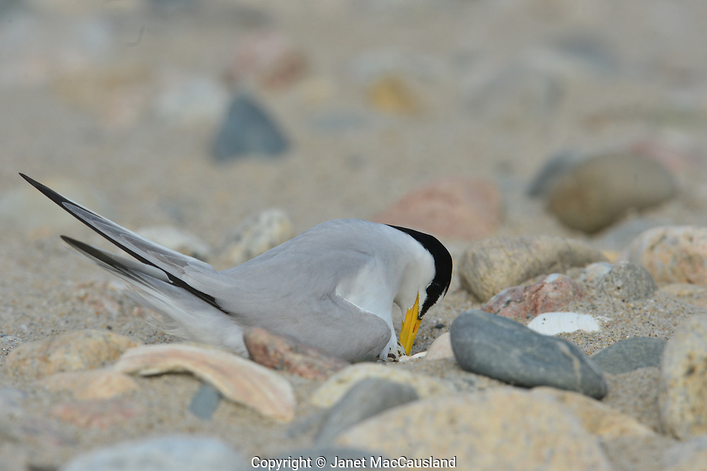 A Least Tern (Sternula antillarum) is seen turning its speckled egg to keep it evenly warm. The nest is nothing more than a dent in the rock and sand on the upper beach. This species has been protected by the Endangered Species Act and is making a recovery.