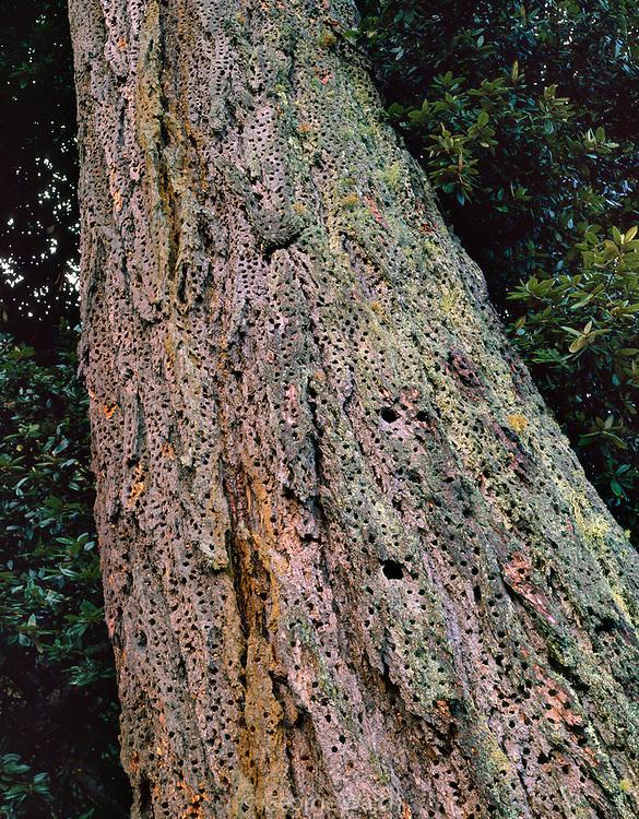 Old-growth Douglas-fir with Holes of Acorn Woodpecker, Phillip Burton Wilderness, Point Reyes National Seashore, California