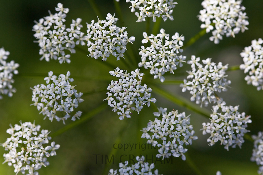 Cow Parsley, Oxfordshire, United Kingdom