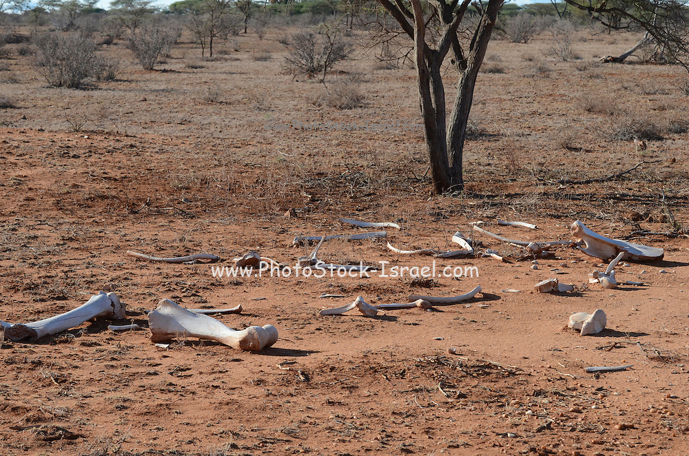 Kenya, Samburu National Park landscape animal bones