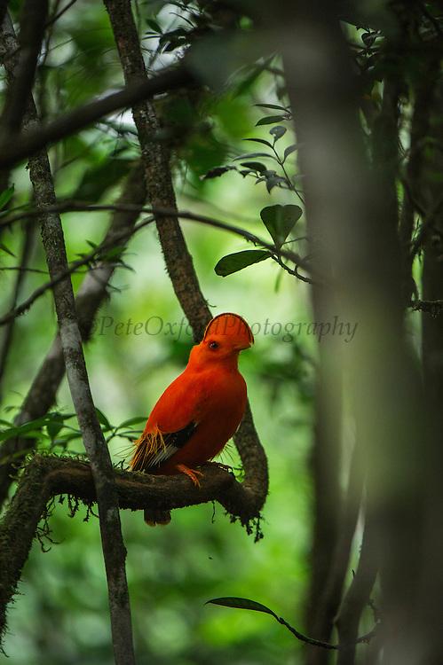 Guianan cock-of-the-rock (Rupicola rupicola)<br /> at Kaieteur Falls<br /> GUYANA<br /> South America<br /> Kaieteur National Park, in Essequibo, Guyana,<br /> Watercourse: Potaro River
