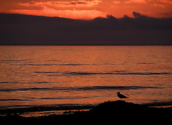 © Licensed to London News Pictures. <br /> 18/08/2016. <br /> Satburn-By-The-Sea, UK.  <br /> <br /> A gull stands on a pile of seaweed as the sun begins to rise over Saltburn-By-The-Sea.<br /> <br /> Photo credit: Ian Forsyth/LNP