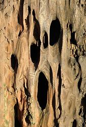 Tree Snag Detail, Vashon Island, Washington, US