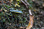 Poison dart frog (also known as dart-poison frog, poison frog or formerly known as poison arrow frog) Photographed in the Amazonian rain forest, Colombia