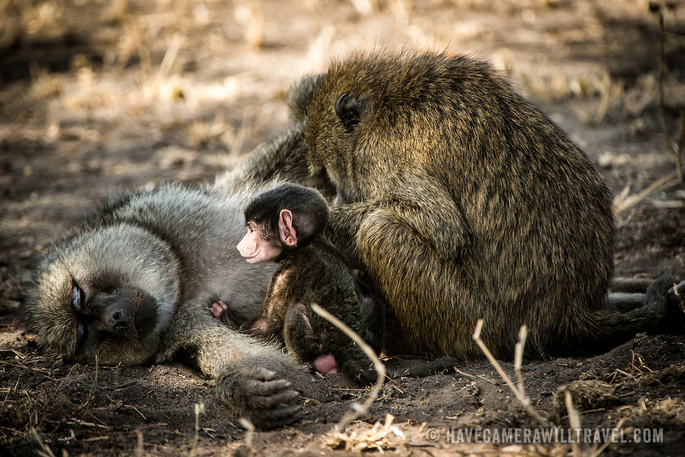 A young Olive Baboon sits with its resting parents on the ground at Tarangire National Park in northern Tanzania not far from Ngorongoro Crater and the Serengeti.