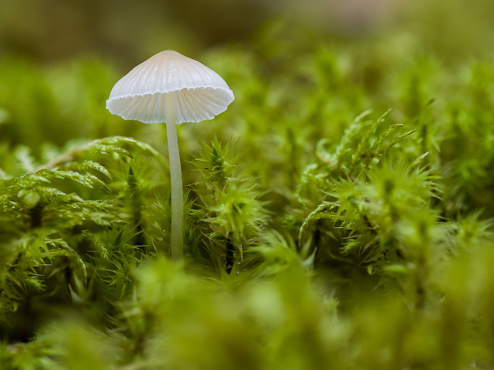 Mushroom and moss, October, forest understory, Olympic National Park, Washington, USA
