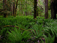 An understory of fresh Sword Ferns grows in the Quinault River drainage of Olympic National Park.  The understory is cropped by a Roosevelt Elk herd that migrate down from the high country in winter. WA, USA Photo by Ed Book