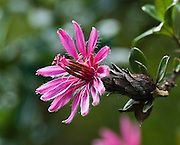 A pink magenta flower blooms on a tree at the Black Sheep Inn, Chugchilan, Ecuador, on the Lago Quilotoa driving loop.