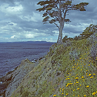CHILE, Patagonia. Beech tree on cliff above Strait of Magellan.  Tierra del Fuego, bkg.