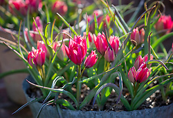 Pots of Tulipa humilis 'Little Beauty' AGM