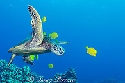 green sea turtle, Chelonia mydas ( Threatened Species ) attended by yellow tangs, Zebrasoma flavescens, at a cleaning station where the turtles are groomed by the fish in a mutualistic, symbiotic relationship, Puako, Kona, Hawaii ( Central Pacific Ocean )
