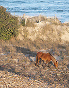 Wild horse on dune on Outer Banks of North Carolina