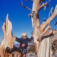 Ben Wiltsie climbs on an ancient Bristlecone Pine