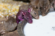 Rats drink milk from a dish in The Karni Mata temple. The rats are worshipped as holy creatures. Deshnoke, Rajasthan, India
