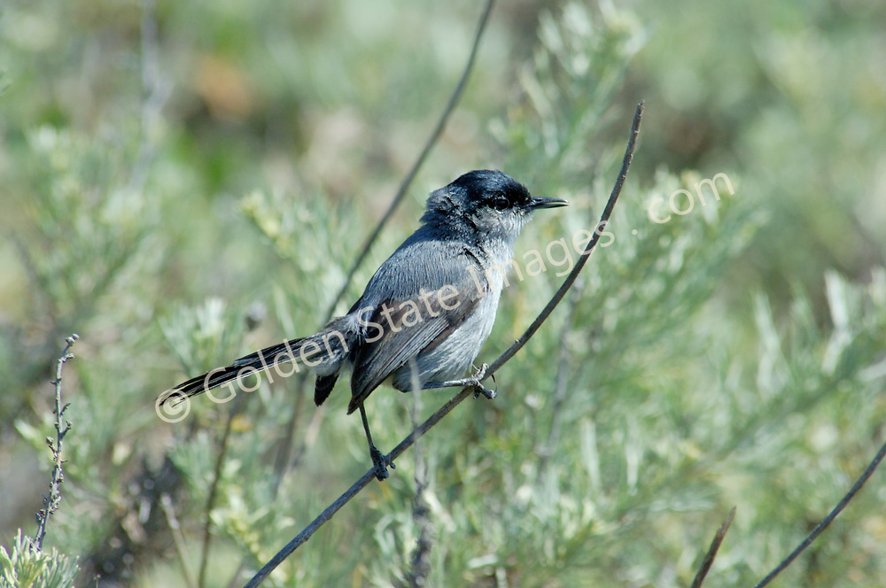 Listed as threatened in 1993. Its native habitat coastal sage scrub and California sagebrush has been heavily impacted by a combination of urban development livestock grazing off-highway vehicle use and military training.   <br /> <br /> Most often are seen flitting from branch to branch in thick undergrowth.<br /> <br /> Male has black crown and beak.  <br /> <br /> Range: Southwestern California   <br /> <br /> Species: Polioptila californica