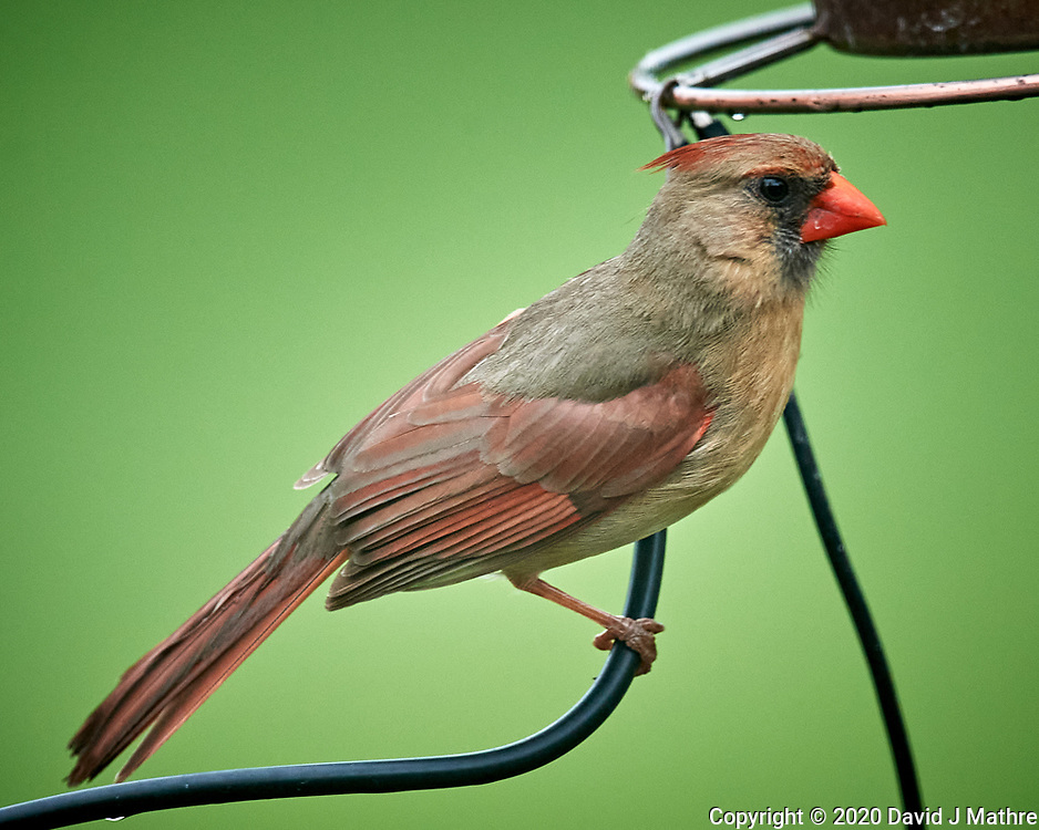 Northern Cardinal. Image taken with a Nikon D5 camera and 600 mm f/4 VR lens (ISO 1600, 600 mm, f/5.6, 1/1250 sec)