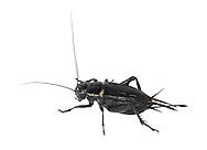 Southern Field Cricket - Gryllus bimaculatus