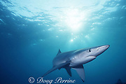 blue shark, Prionace glauca, Channel Islands National Marine Sanctuary, California, USA ( Eastern Pacific Ocean )
