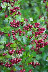 Hawthorn berries in a hedgerow. Crataegus monogyna