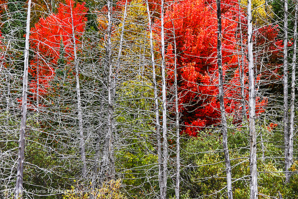 """""""Living Among the Dead""""<br /> <br /> Beautiful bright fall foliage tucked behind a row of bare skeletal trees left from a fire long ago!<br /> <br /> Autumn Landscapes of Michigan by Rachel Cohen"""