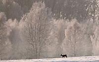 10.12.2014 gmina Krynki woj podlaskie N/z sarny na lace fot Michal Kosc / AGENCJA WSCHOD