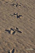 tracks of Asian Black-necked Stork or Jabiru, Ephippiorhynchus asiaticus,  a predator of sea turtle hatchlings, on turtle nesting beach, Crab Island, off Cape York Peninsula, Torres Straits, Queensland, Australia