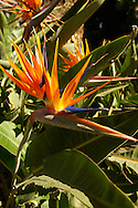 Bird of Paradise Flowers in the Trevelyan Gardens in Taormina Italy, also known as the Giardino Trevelyan .<br /> <br /> Visit our SICILY PHOTO COLLECTIONS for more   photos  to download or buy as prints https://funkystock.photoshelter.com/gallery-collection/2b-Pictures-Images-of-Sicily-Photos-of-Sicilian-Historic-Landmark-Sites/C0000qAkj8TXCzro