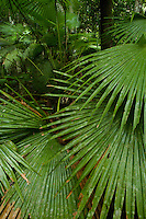 Fan palms growing in the rain forest understory in Halmahera Island, Indonesia.