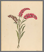 Pentand. Monog. [Lysimachia nutans] (1817) from a collection of ' Drawings of plants collected at Cape Town ' by Clemenz Heinrich, Wehdemann, 1762-1835 Collected and drawn in the Cape Colony, South Africa