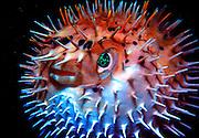 UNDERWATER MARINE LIFE CARIBBEAN, generic FISH; Porcupine Fish, inflated Diodon hystrix