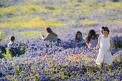 Young girl in field of Indian paintbrush (Castilleja indivisa) and bluebonnets (Lupinus texensis), Ennis, Texas USA. Tentative ID.