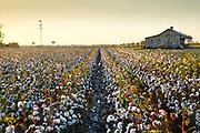 Clarksdale, MS_Cotton Field