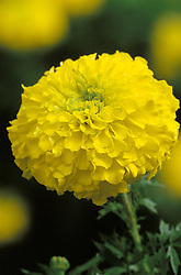 Marigold African Yellow - Tagetes