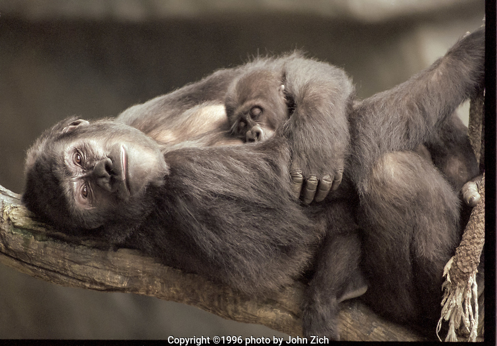 Binti Jua, a western lowland gorilla, and her daughter Koola rest on a tree branch in the gorilla enclosure at the Brookfield Zoo. (photo by John Zich)