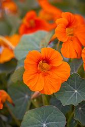 Nasturtium 'Baby Orange'