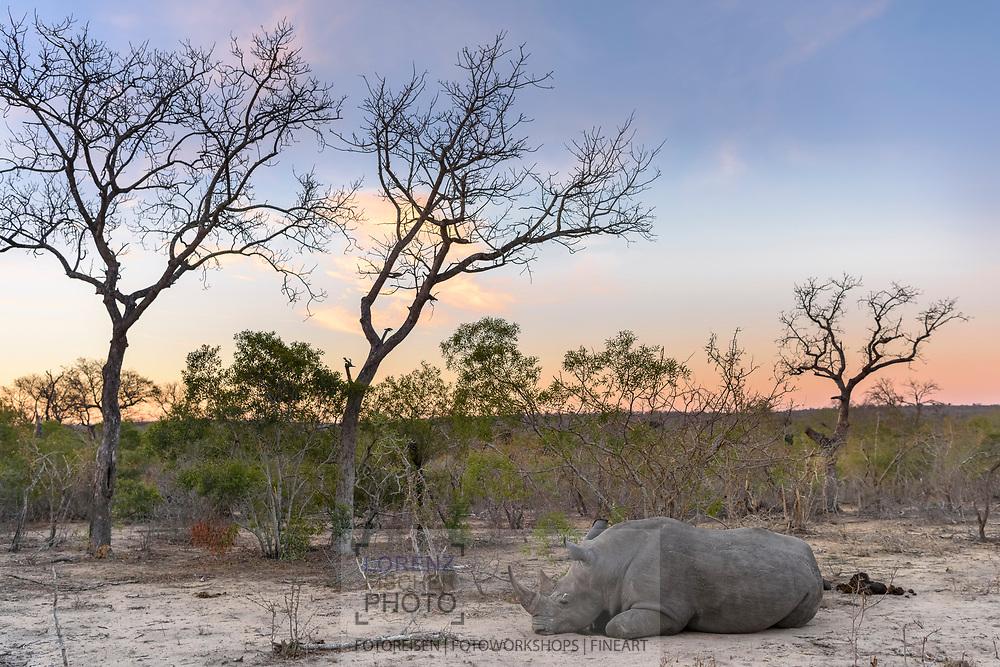 Ein Breitmaulnashorn-Bulle (Ceratotherium simum) döst im Schutzgebiet Sabi Sands, Südafrika<br /> <br /> A white rhinoceros or square-lipped rhinoceros (Ceratotherium simum) is dozing in the private game reserve Sabi Sands, South Africa
