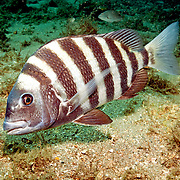 Sheepshead inhabit sand and rocky rubble areas in Florida and continental coast from Nova Scotia to Brazil; picture taken Blue Heron Bridge, Palm Beach, FL.