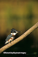 01186-007.14  Belted Kingfisher (Ceryle alcyon) female Marion Co.  IL
